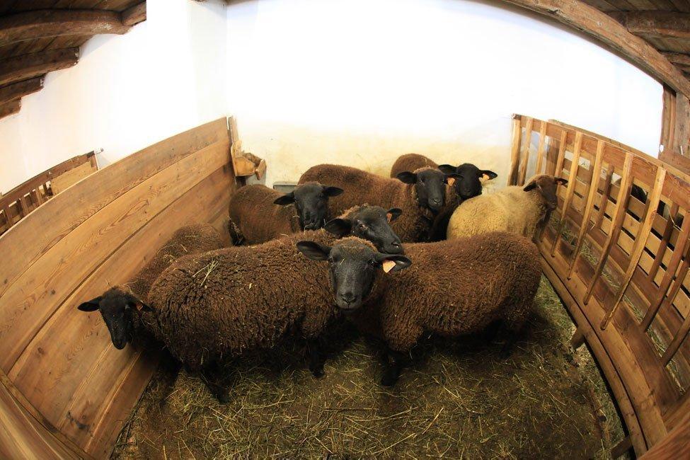 pecore nella stalla