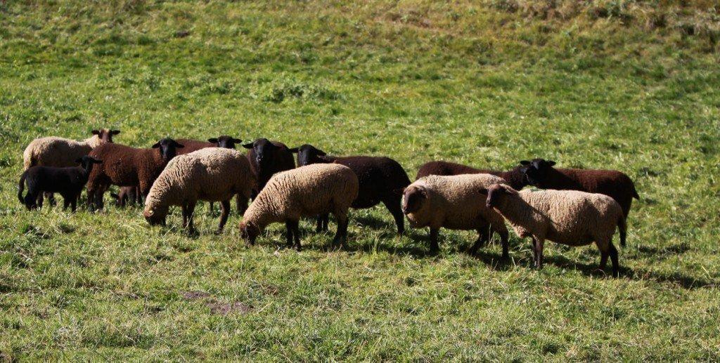 pecore pascolano