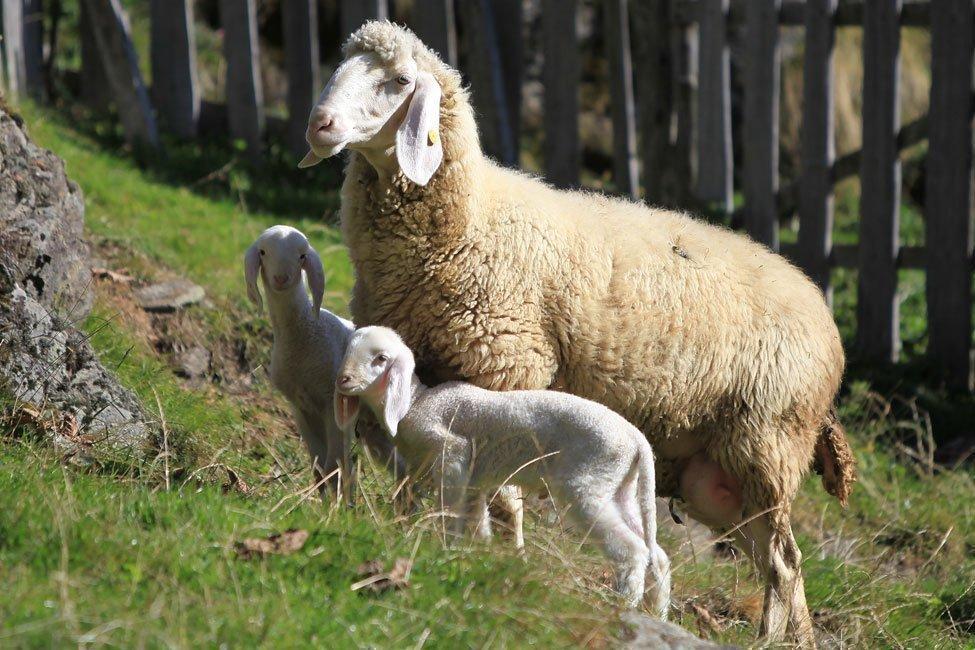 pecore con i giovani